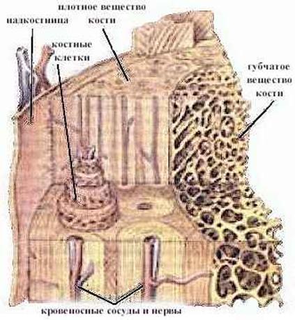 Концы костей, покрытые хрящом,